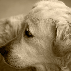 Portret van Goldy