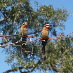 Whitefronted bee-eaters