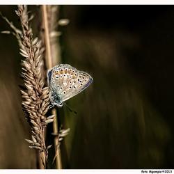 Herfstblauwtje