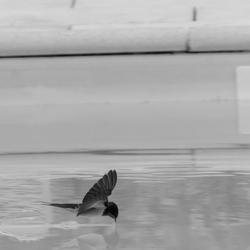 Zwaluw drinkt uit zwembad