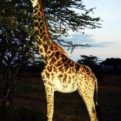 masai giraf