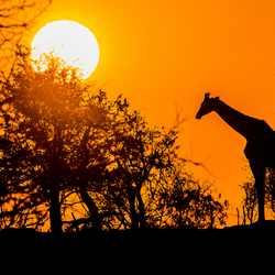Afrikaanse sundowner