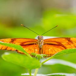 Dryas iulia oranje passiebloemvlinder