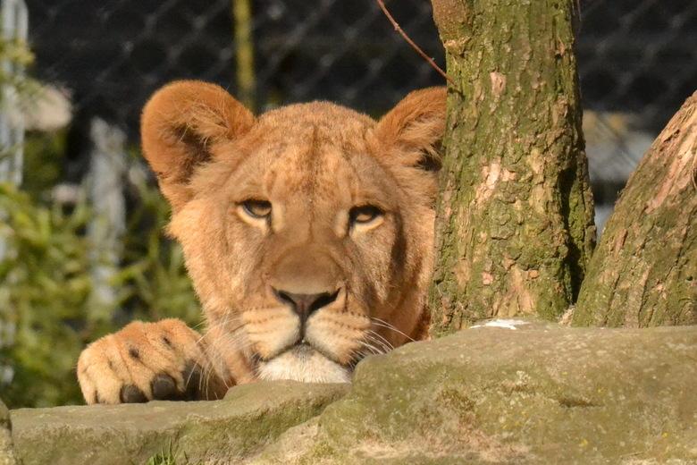 poes poes - Leeuwin luiert in het zonnetje en heeft een oogje op mij?