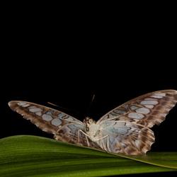Artis vlinder 1