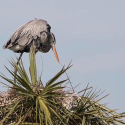 Reiger (Viera Wetlands - Florida)