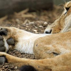 Slapende leeuw, Blijdorp