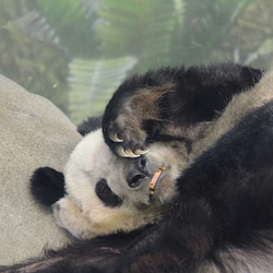 Panda in Zoo van  Memphis
