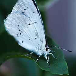 Rustend boomblauwtje.