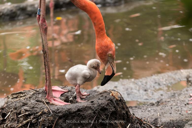 Moederliefde. - Na een paar weken broeden heeft ook deze moeder haar jong.  Het zat lekker warm onder moeder flamingo.  Na een kleine uurtje stond ze