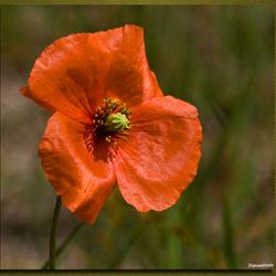 Bleke Klaproos (poppy)