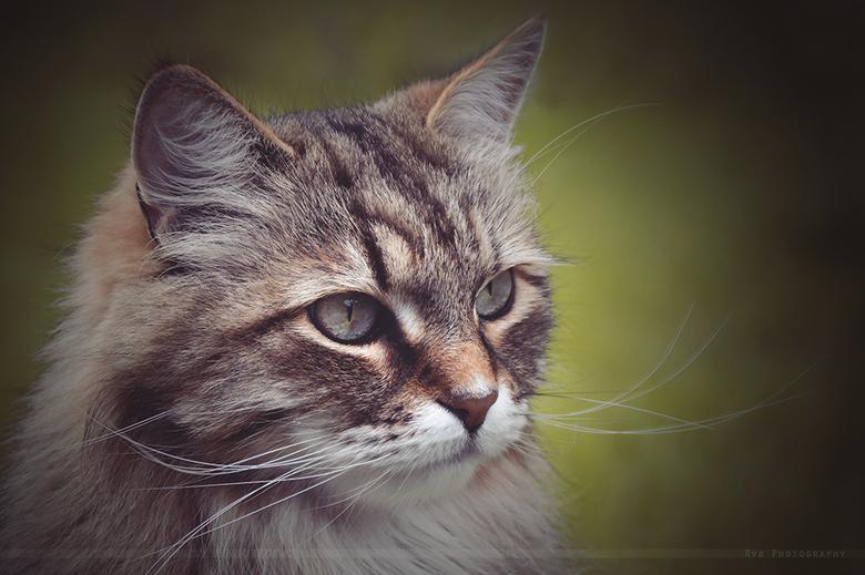 Siberische Kat - Dit is 1 van mijn 2 Siberische katten.