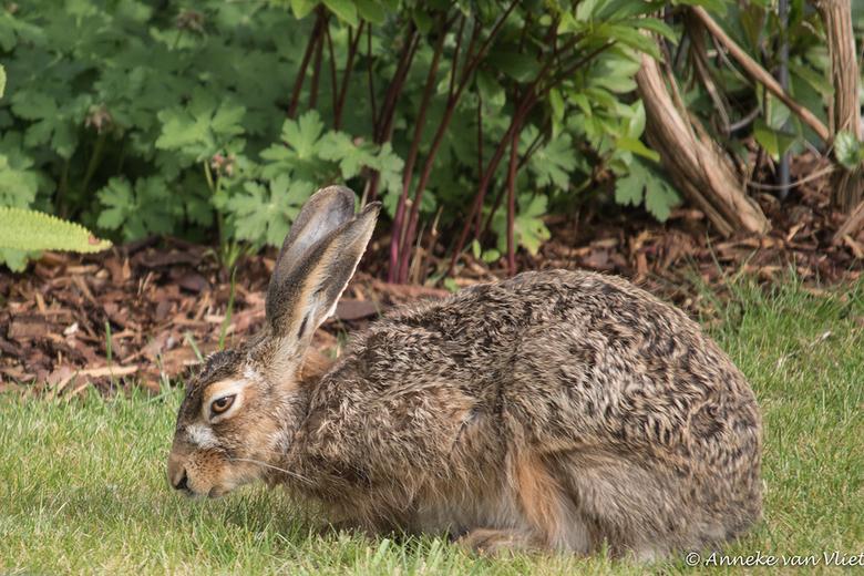 Haas (Lepus europaeus) - Is dit gras wel te eten......