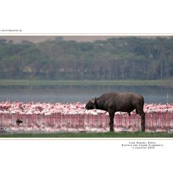 Lesser Flamingo's, Buffalo, Kenia