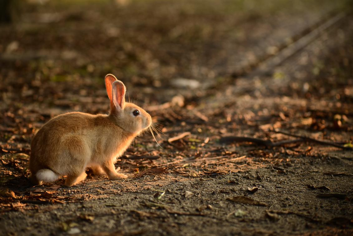 Konijn op Rabbit Island, Japan