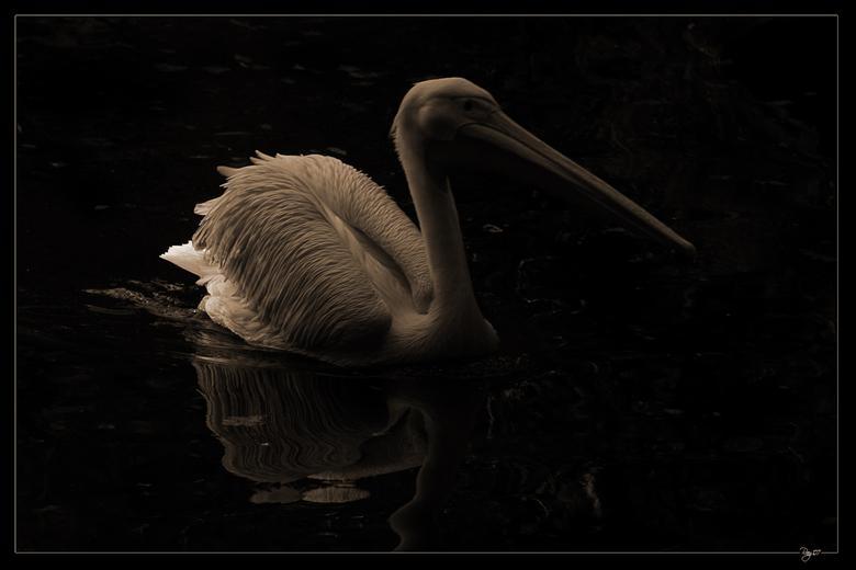 Sun behind - De pelikanen zijn al vaak voorbijgekomen op zoom en ook in mijn galery wel te vinden. Toch wou ik nu eens zo'n prachtbeest op een an