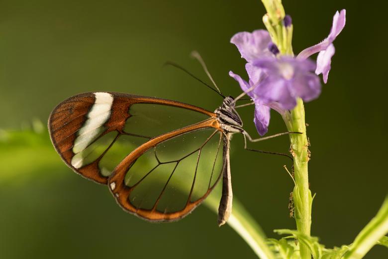 Glasvleugelvlinder – Greta oto (2) - Bijna 3 jaar  geleden heb ik deze vlinder ook eens mogen fotograferen. Tijd voor een nieuwere versie.