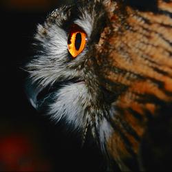 Door het oog van een uil