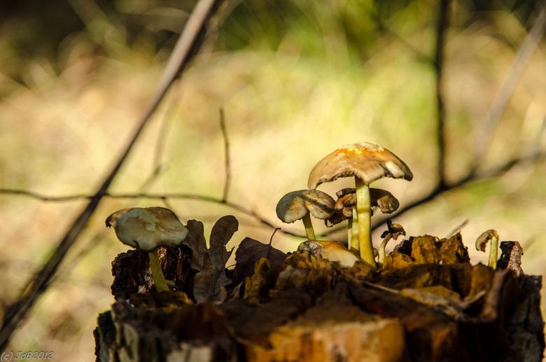 Paddo's - ...staan er mooi bij in het zonnetje op deze boomstronk op de Vrachelse Heide bij Oosterhout.