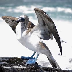 BlauwvoetGent Galapagos Eilanden