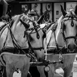 paarden voor paardenkoets