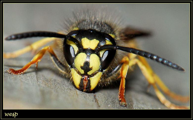 vooraanzicht wesp - Vooraanzicht wesp.<br /> (Hij bevindt zich hier op een houten bloembak).