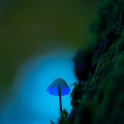 Paddenstoel Blue