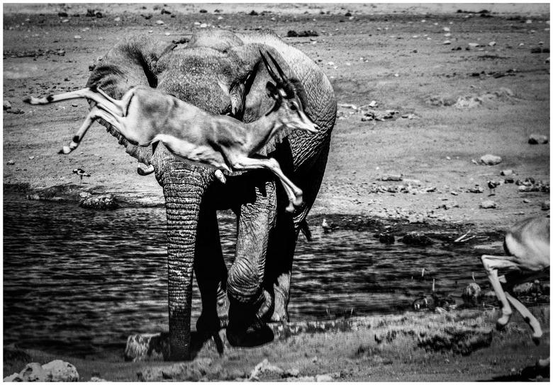 Spring bok, spring! - Drie weken geleden in Namibië, veegde deze olifant schoon schip bij de waterhole...