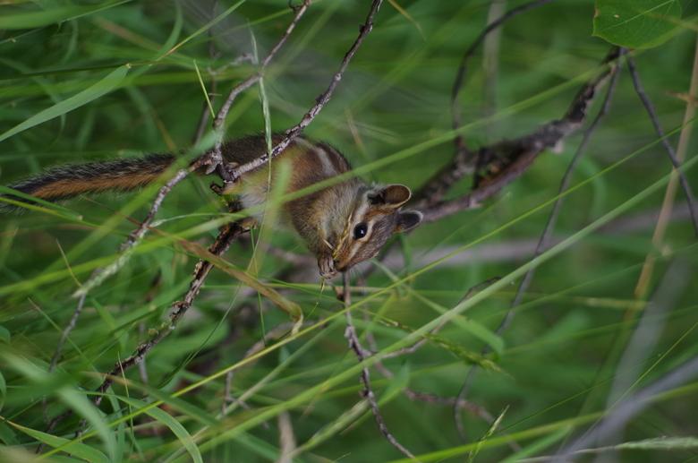 eekhoorn bij daimond lake Oregon - Etende Eekhoorn, door de scherptediepte van deze foto vind ik dit zelf 1 van mijn mooiste dieren foto's tot nu