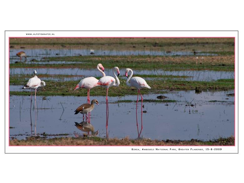 Greater Flamingo 2, Kenia - De Flamingo staat symbool voor het vogelleven in Oost Afrika. Hij komt soms in populaties tot meer dan een miljoen exempla