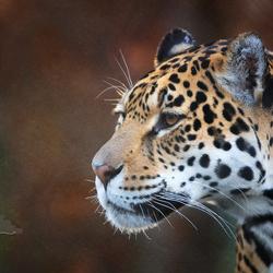 Jaguarrrrrrr