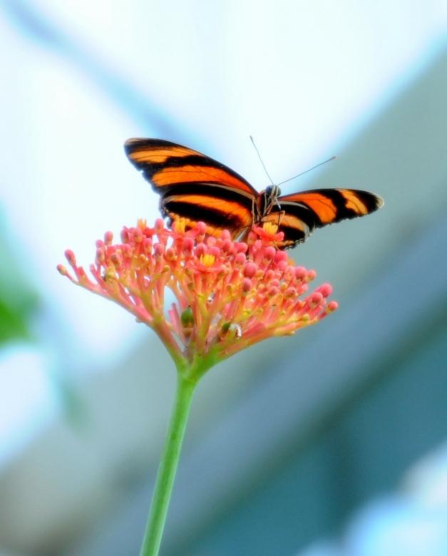 Artis vlindertuin Project I - Wat is het moeilijk om die vlugge beestjes te volgen. Deze bleef lang genoeg stilzitten. Ik heb wel gecropt.