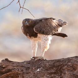 Martial Eagle 2, Kenia