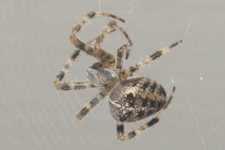 Als een spin in het web. - Deze schoonheid was net klaar met haar web.