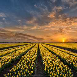 Sunset of the yellow tulips