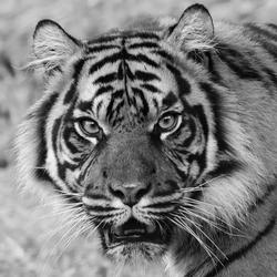 Sumatraanse tijger - portret in Z/W