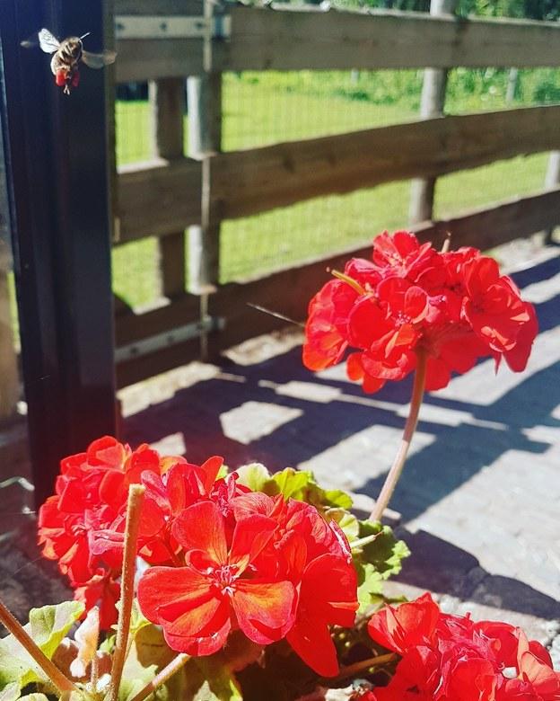 bij met nectar - een bij neemt wat van een bloem, toevallig zie je het de bij het echt vasthouden terwijl hij terug wegvliegt