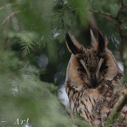 Mysterious Long-eared owl