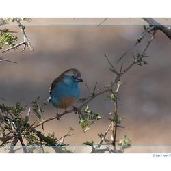 Blue waxbill, Zd Afrika