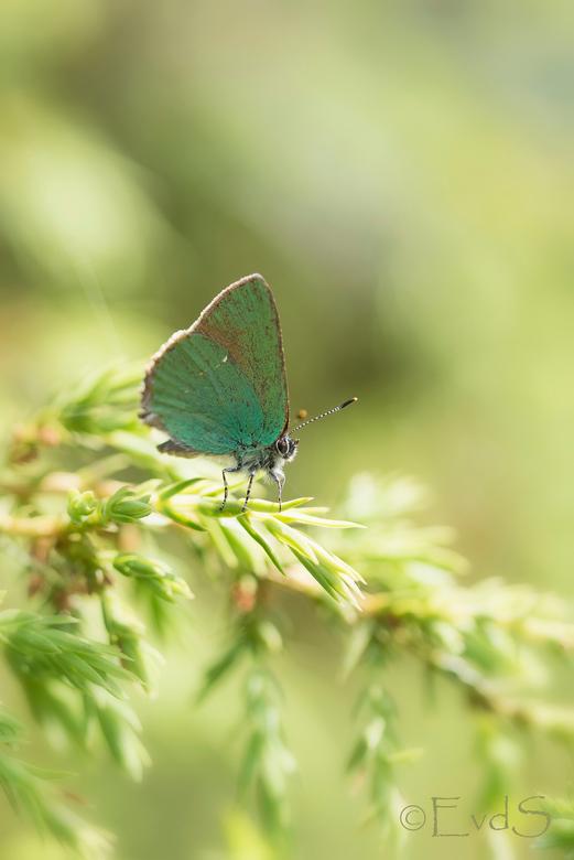 Groentje - Deze week voor het eerst dit (redelijk zeldzaam) mooie vlindertje gespot in de Heemtuin in Rucphen.