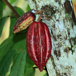 Vrucht cacaoboom