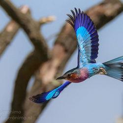 Vorkstaartscharrelaar in vogelvlucht