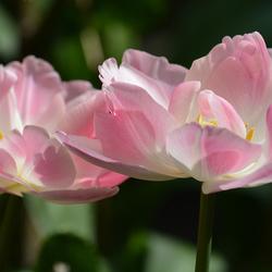 Tulpen in mijn tuin.