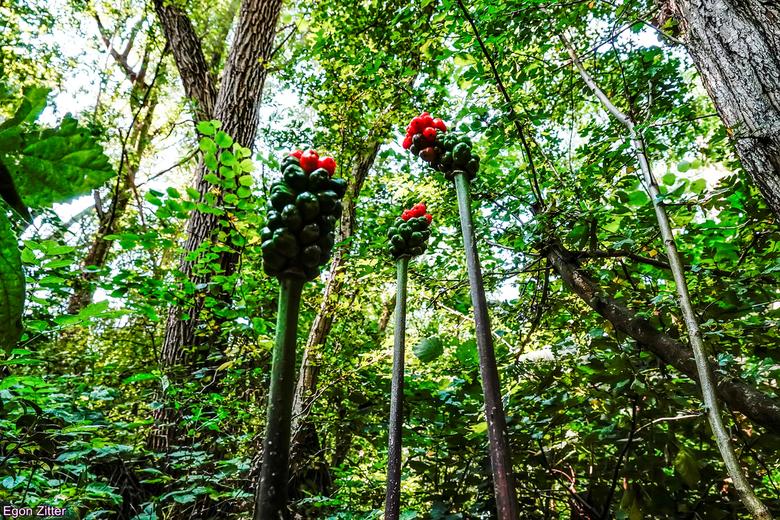 gevlekte aronskelk bessen - gevonden in een bosje te Etten-Leur