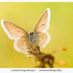 Icarusblauwtje in tegenlicht