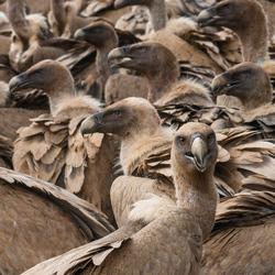 Invasie van Vale gieren