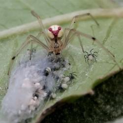spinnen moedertje met kindjes