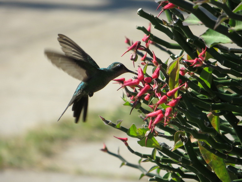 Kolibrie midden in de stad Havana. - De hele rondreis al geprobeerd een vliegende kolibrie te fotograferen. En toen ik het niet meer verwachte was daa