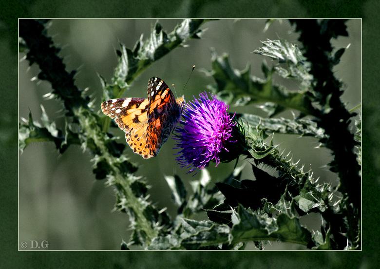 Right Spot - 30 mei 2009: Oostvaardersplassen<br /> <br /> Ik hoef je niet meer te vertellen wat voor vlinder dit is..precies, een distel-vlinder.<b