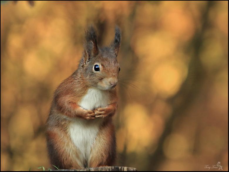 Beetje verlegen.... - een beetje verlegen en voorzichtig zo  kwam deze eekhoorn op mij over...<br /> <br /> Iedereen weer bedankt bij de vorige uplo